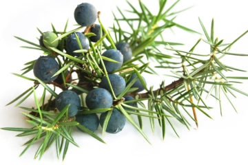 Jalovec je bylina používaná jako součást odvodňovacích kúr. Má schopnost zvyšovat množství vylučované moči a zbavovat tělo přebytečných tekutin.