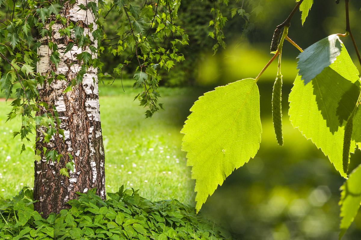 Bříza je považována za všestrannou léčivku. Zatímco listy se chlubí svými diuretickými vlastnostmi, pupeny umí pomoci třeba u osteoporózy.
