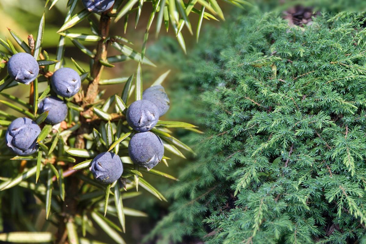 Jalovec obecný (Juniperus communis L.) je neopadavý, pomalu rostoucí keř až strom z čeledi cypřišovitých (Cupressaceae), dorůstá výšky 5–15 metrů.