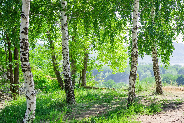 Bříza má velmi všestranné využití. Mladé listy břízy sbírané na jaře hned po jejich rozvití jsou z herbářů a bylinkářské literatury známé pro své léčivé účinky.