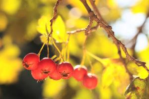 Plody Hlohu obecného dozrávají na přelomu září a října.