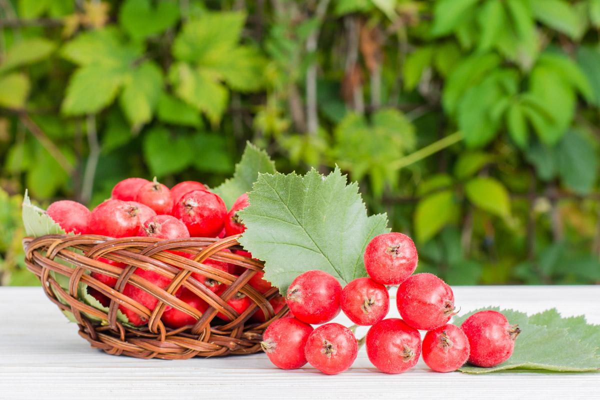 Plody hlohu zvané hložinky se dají použít k výrobě chutné marmelády. Květy hlohu se pak mohou nakládat do vína nebo destilátu