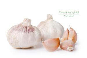 Třetí z tria bylin pro silné a zdravé srdce a cévy, česnek kuchyňský (Allium sativum)