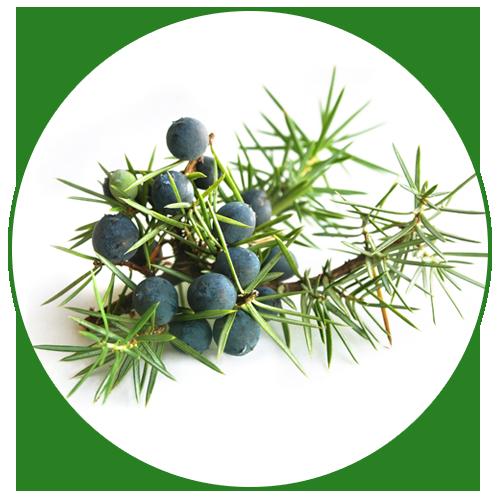 Jalovec obecný (Juniperus communis)