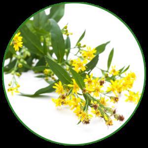 Celík zlatobýl (Solidago virgaurea)