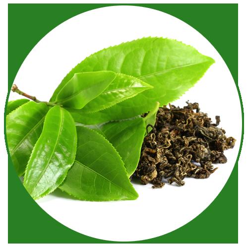 Zelený čaj (Camellia sinensis)