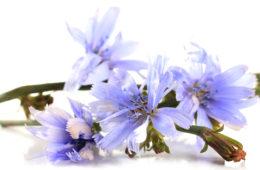Svými modrými květy inspirovala čekanka už nejednu poetickou duši. Trpělivě čeká, než si jí všimneme –stejnějako modrooká dívka na svého milého.