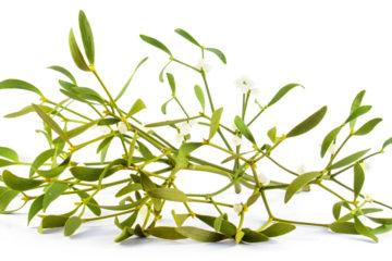 Jmelí je pro většinu lidí především symbolem Vánoc. Málokdo ale ví, že tato rostlina není jen na ozdobu, ale že je i velmi ceněnou léčivkou.