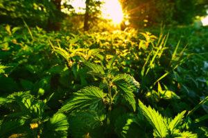 Kopřiva dvoudomá je vytrvalá, až dva metry vysoká bylina ze stejnojmenné čeledi kopřivovité. Je to jedna z našich nejhojnějších rostlin.
