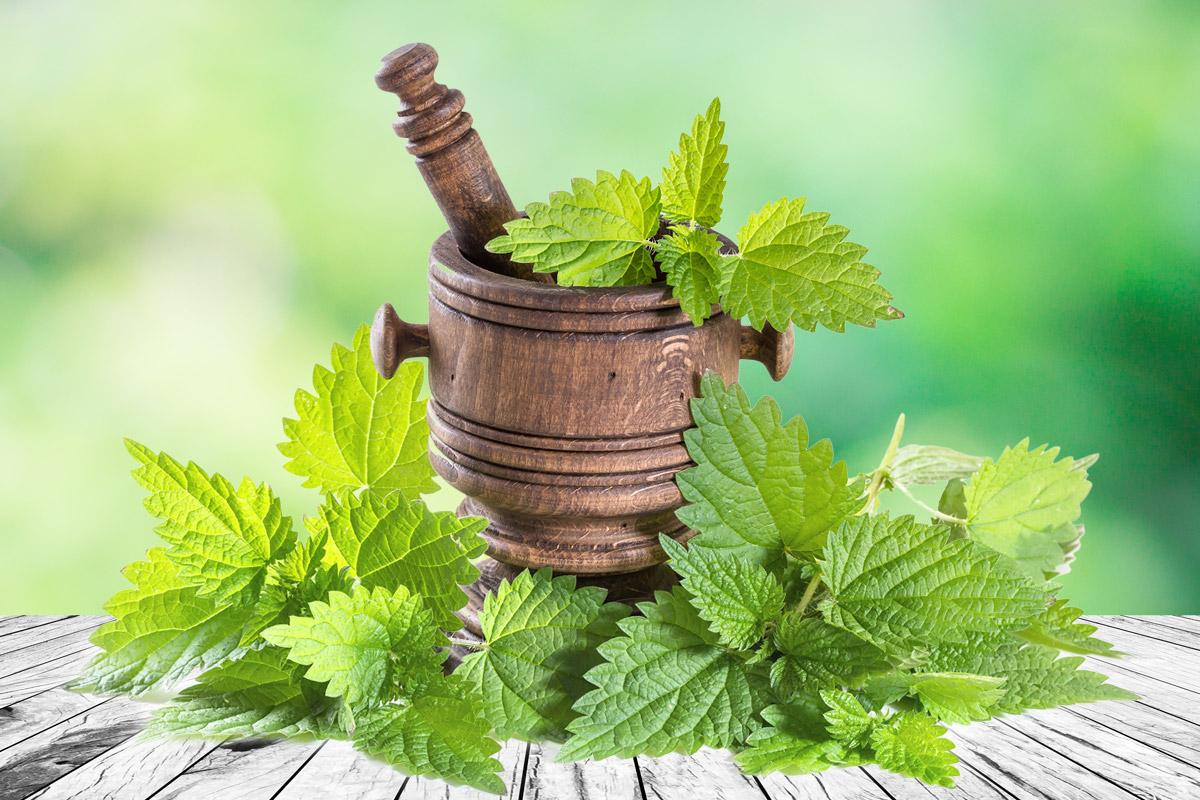 Mladé listy kopřivy, které ještě tolik nepálí, se dají použít místo špenátu nebo do jarních polévek. Už v této podobě, jako zajímavé zpestření zdravého jídelníčku, jsou užitečné našemu zdraví.