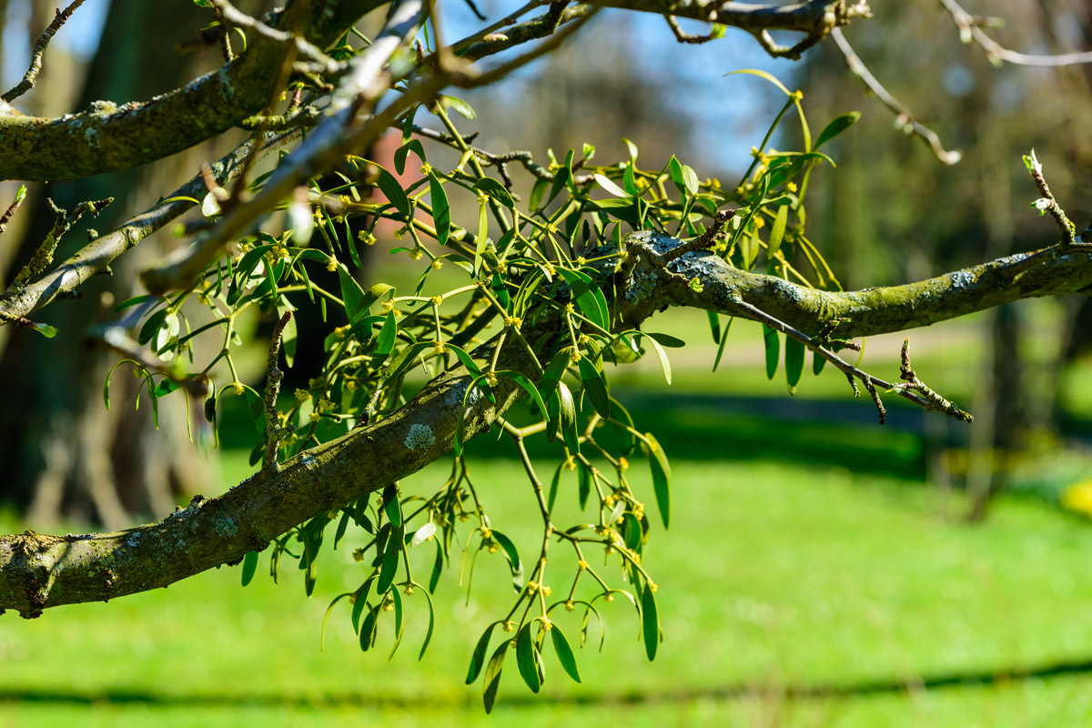 Protože ale jmelí rostoucí na různých stromech obsahuje různé množství léčivých látek a může být dokonce i jedovaté (jmelí rostoucí na topolech), není vhodné věnovat se samosběru, ale spíš si jmelí koupit v podobě kvalitního doplňku stravy.