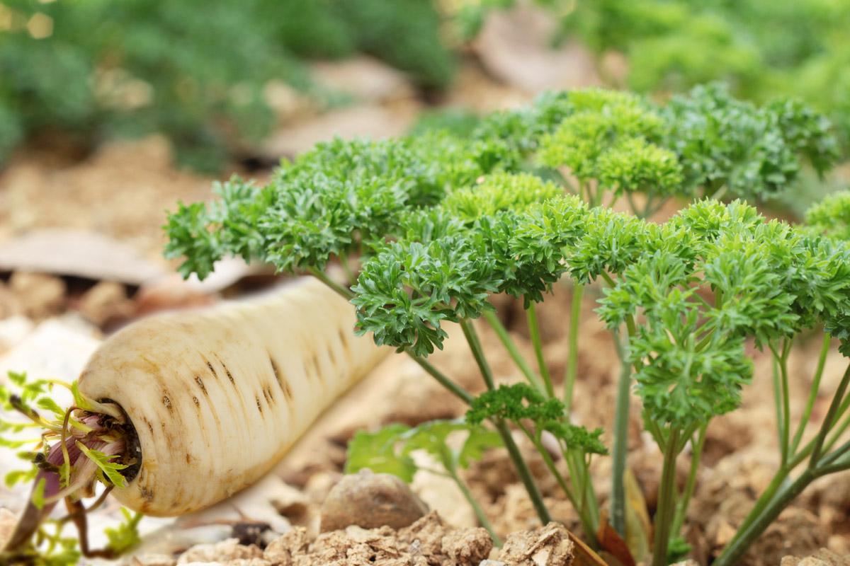 Petržel, přesněji petržel zahradní (lat. Petroselinum crispum) z čeledi miříkovitých (Apiaceae), je dvouletá rostlina, vytvářející prvním rokem přízemní růžici několikanásobně zpeřených listů, vyrůstajících z dužnatého vřetenovitého kořene, který je silně aromatický a na povrchu bílý.