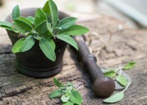 U šalvěje se pro léčivý účinek sbírají listy, nebo celé bylinné vršky, a to v období od května do června, dokud šalvěj ještě nekvete.