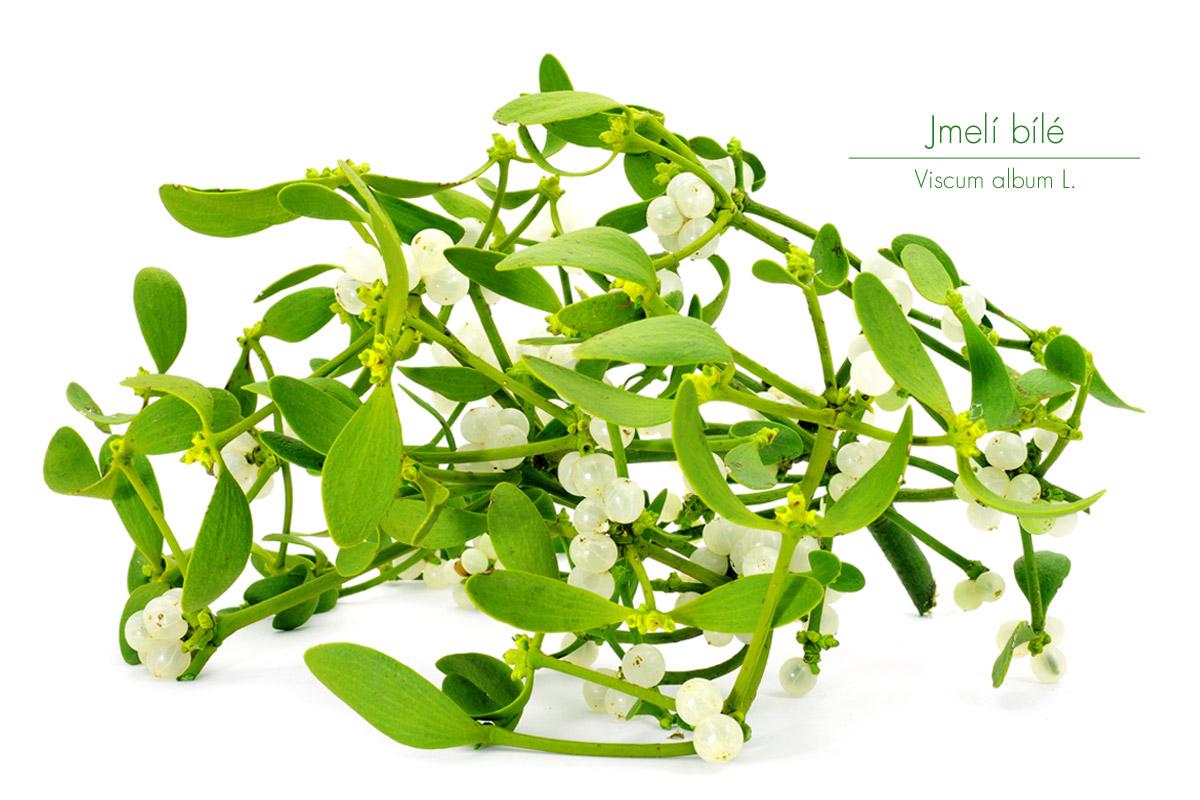 Symbol Vánoc, jmelí bílé (Viscum album) je dokonalý pomocník pro regulaci krevního tlaku.