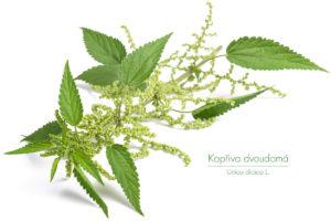 Kopřiva je považována některými z nás za obtížný plevel, jinými za nenahraditelnou léčivku či dokonce kulinářskou specialitu. Kam ji řadíte vy?