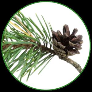 Borovice lesní (Pinus sylvestris)