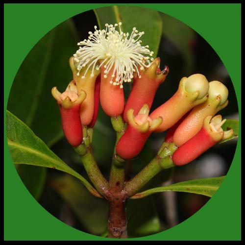 Hřebíčkovec vonný (Syzygium aromaticum)