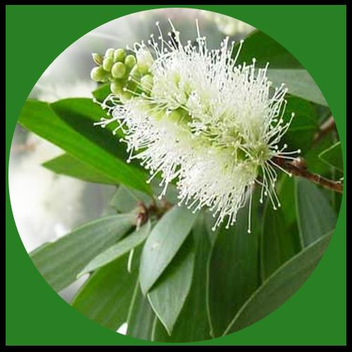 Kajeput bělavý (Melaleuca leucadendron)