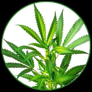Konopí seté (cannabis sativa)