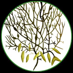 Mořská řasa (Ascophyllum nodosum)