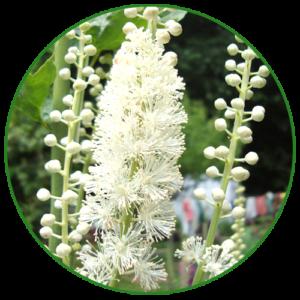 Ploštičník hroznovitý (Cimicifuga racemosa)