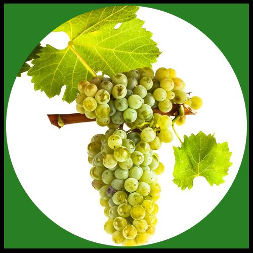 Vinná réva (Vitis vinifera)